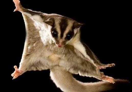Conoce Cómo Planea Una Ardilla Voladora Bichos Exóticos