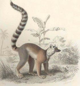dibujo de lemur