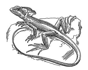 dibujo lagarto canario
