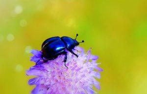 escarabajo azul del bosque