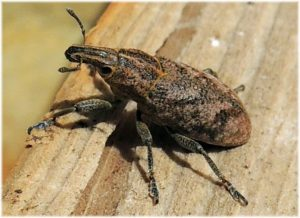 escarabajo gorgojo