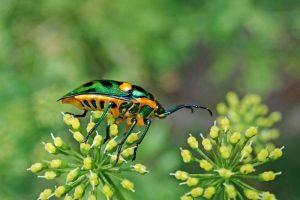 escarabajo insecto