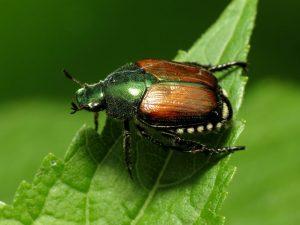 escarabajo japones