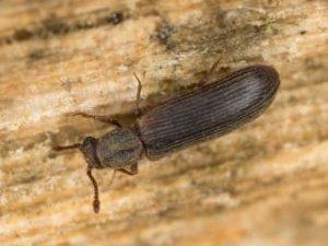 escarabajo madera