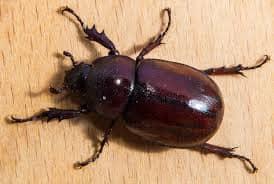 escarabajo marron