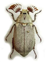 escarabajo sanjuanero
