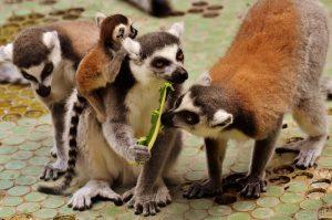 familia de lemures