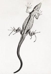 lagartija dibujo
