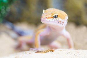 lagarto blanco
