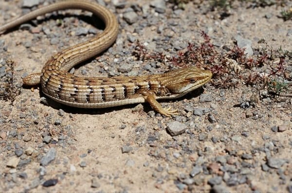 lagarto escorpion
