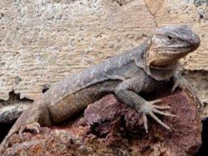 lagarto gigante del hierro