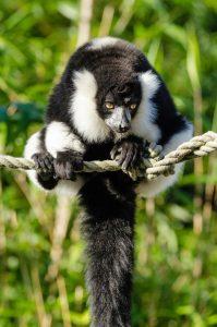 lemur blanco y negro