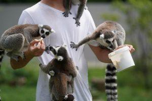 lemur como mascota