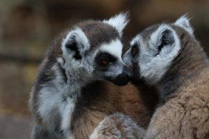 lemur en venta