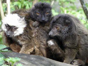 lemur-negro