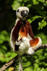 lemur negro y rojo