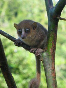 lemur raton