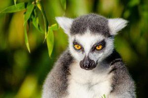 lemur significado