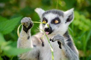 lemur tierno