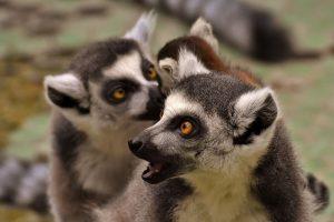 lemures de ojos grandes