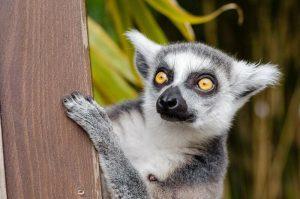ojos del lemur